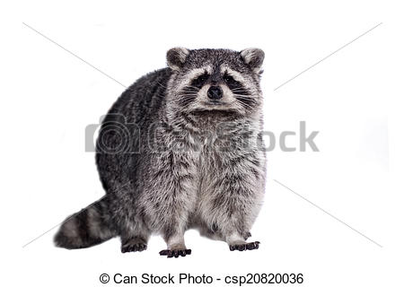 Stock Photos of Raccoon, Procyon lotor, on the white background.