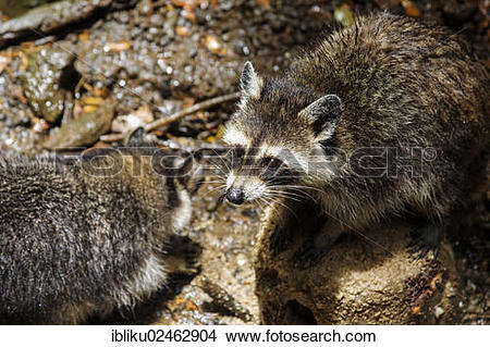 """Stock Photo of """"Guadeloupe raccoon (Procyon lotor minor), endemic."""