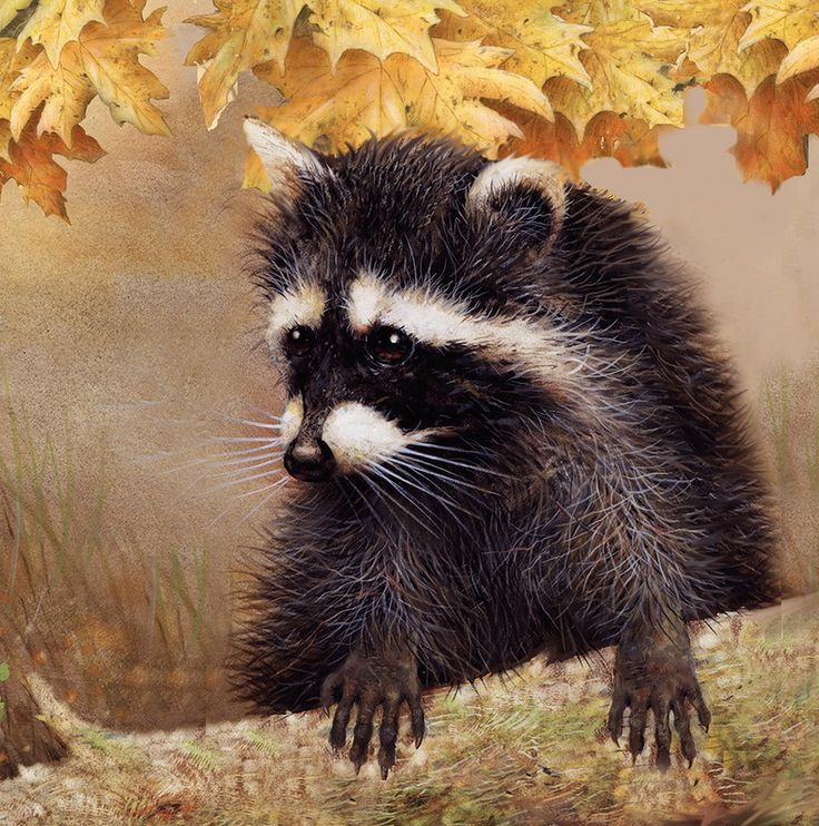 1000+ images about Raccoons, beavers on Pinterest.