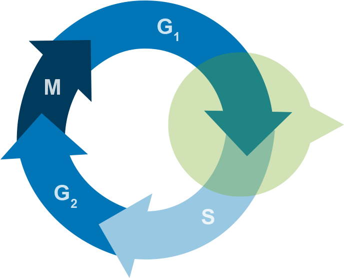 Targets S Phase Progression Clipart.
