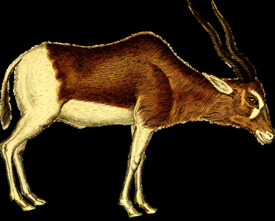 Antelope,Cattle Like Mammal,Springbok Clipart.