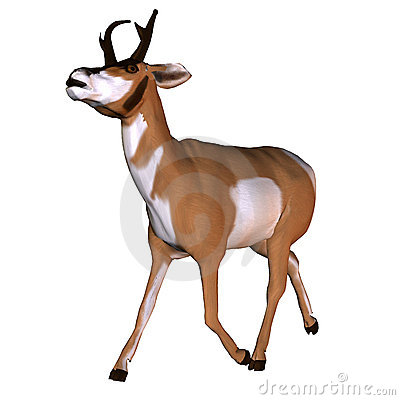 Pronghorn Stock Illustrations.
