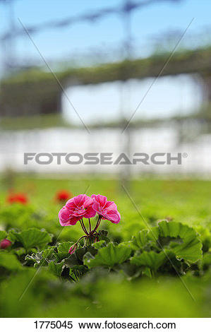 Stock Image of A commercially propagated plant 1775045.
