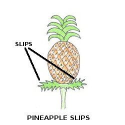 HOW TO GROW PINEAPPLE PLANT / PINEAPPLE SUCKERS (HYBRID) FOR SALE.