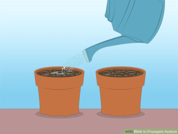 3 Ways to Propagate Azaleas.