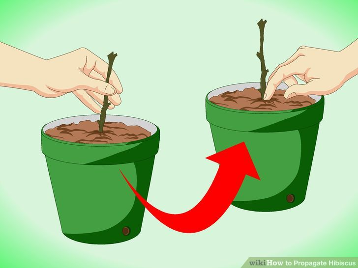 How to Propagate Hibiscus (with Pictures).