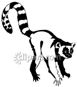 Ring-tailed clipart #1