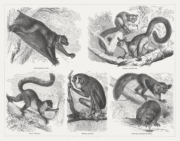 Mongoose Lemur Clip Art, Vector Images & Illustrations.