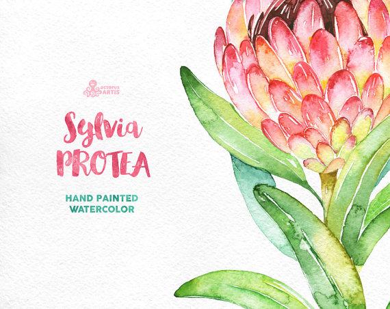Sylvia Protea. Watercolor floral Clipart wedding by OctopusArtis.