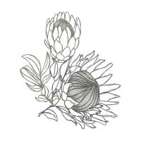 Protea Sketches.