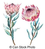 Protea Illustrations and Clip Art. 61 Protea royalty free.