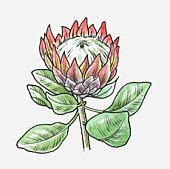 Protea Stock Photos and Illustrations.