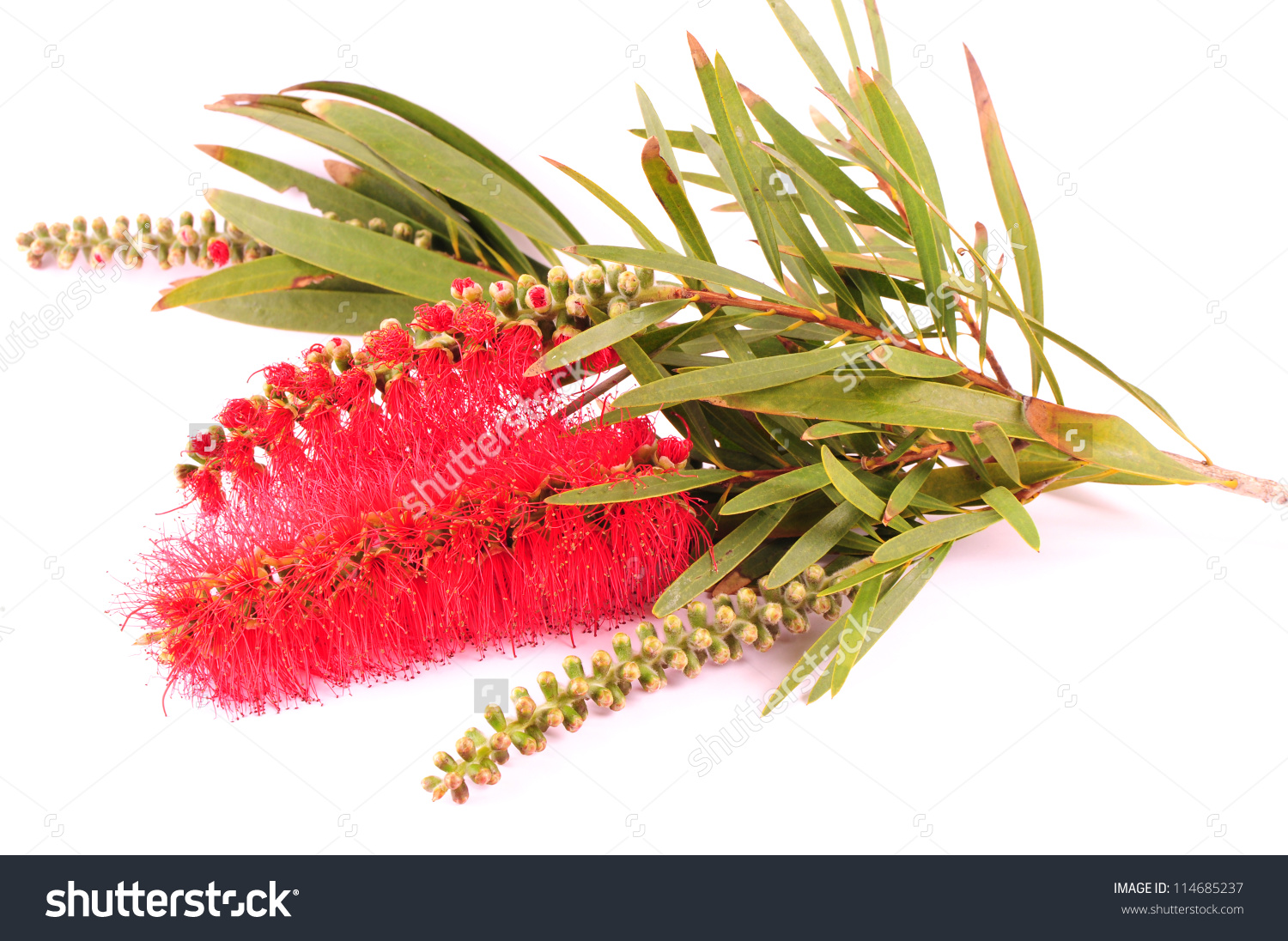 Banksia Proteaceae Isolated On White Background Stock Photo.
