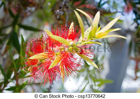 Stock Photo of Red flower blossom, Banksia, Proteaceae csp13770642.