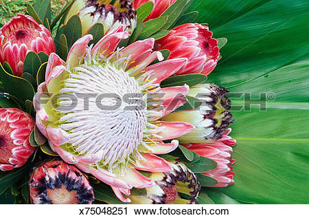 Stock Photography of Protea flower (Proteaceae proteaces) design.