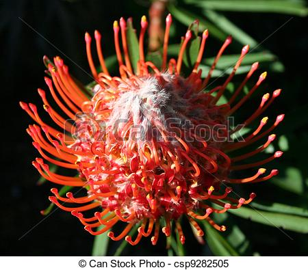 Stock Images of Red Pincushion Southafrican Protea (Proteaceae.