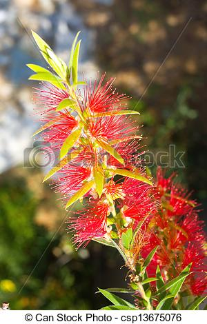 Picture of Red flower blossom, Banksia, Proteaceae.