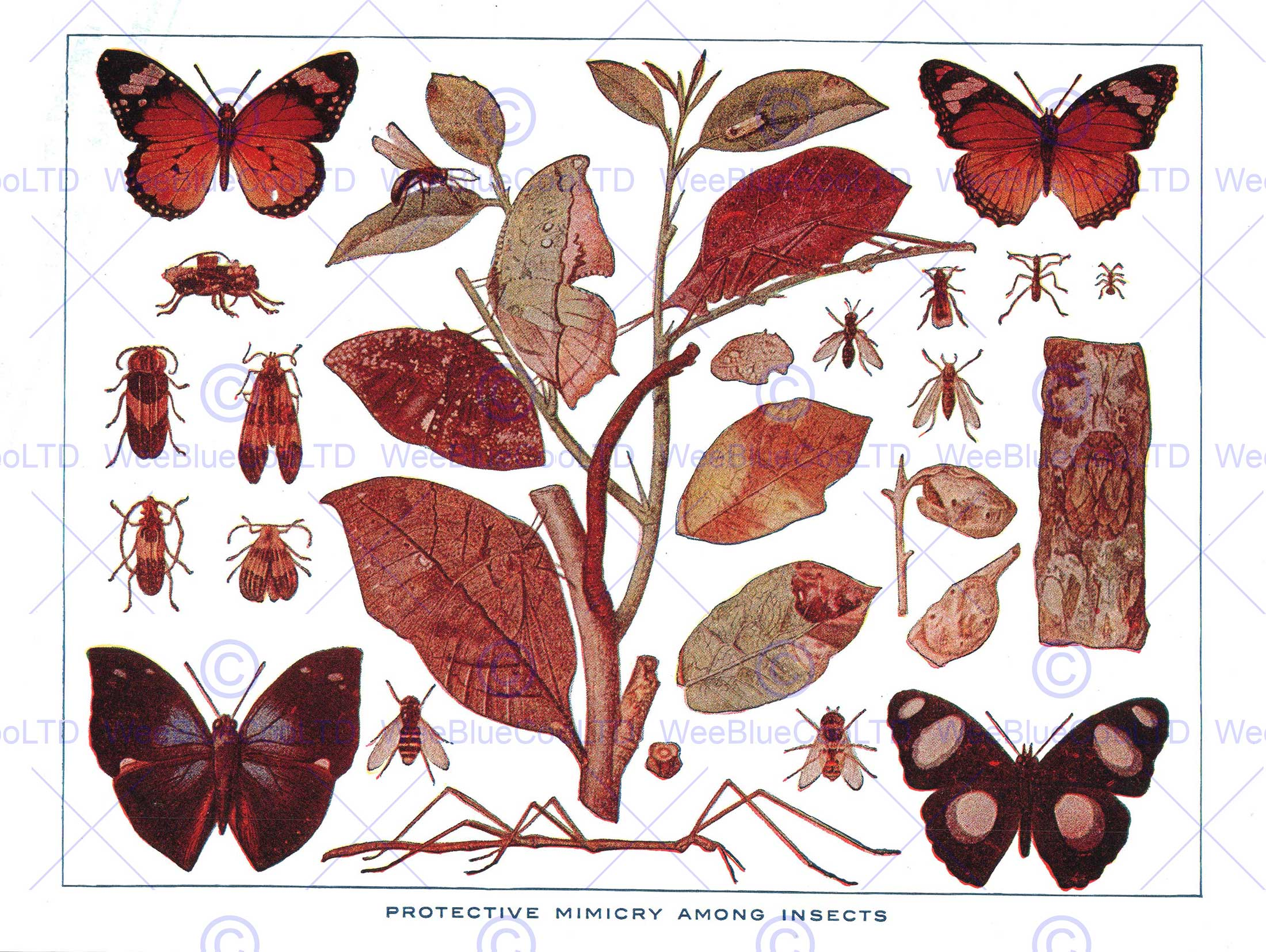DRAWING PROTECTIVE MIMICRY INSECTS BUTTERFLY SCIENTIFIC ART PRINT.