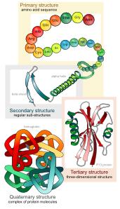Main Protein Structure Levels En Clip Art at Clker.com.