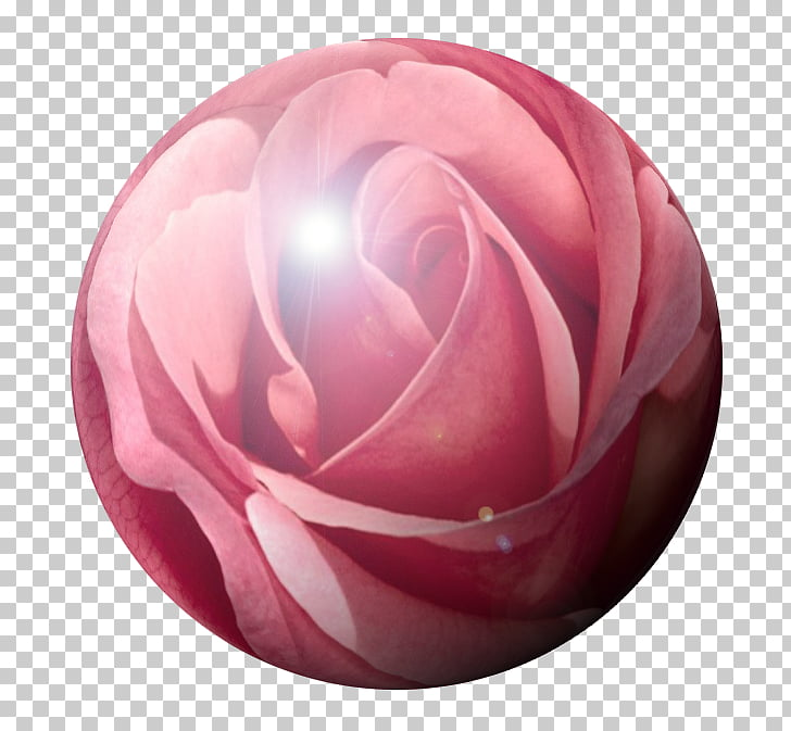 Garden roses Pink M Proverbs 31, rose PNG clipart.