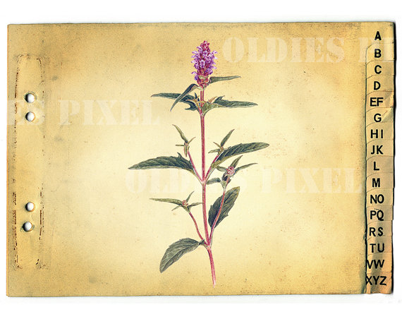 Prunella Vulgaris Plant Drawing Instant Download by OldiesPixel.