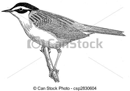 Drawing of Siberian Accentor.