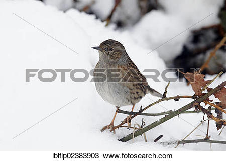 "Stock Photo of ""Dunnock (Prunella modularis), adult, perched on."