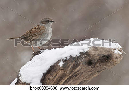 """Pictures of """"Dunnock (Prunella modularis) perched on a tree stump."""
