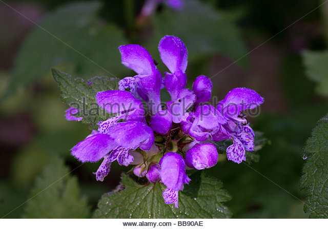 Large Self Heal Stock Photos & Large Self Heal Stock Images.
