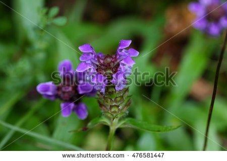 Prunella grandiflora clipart #15