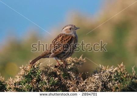 European Dunnock (Prunella Modularis), Aka Hedge Sparrow Stock.