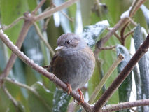 Dunnock Bird In A Wayfaring Tree.