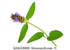 Prunella vulgaris Stock Photos and Images. 42 prunella vulgaris.
