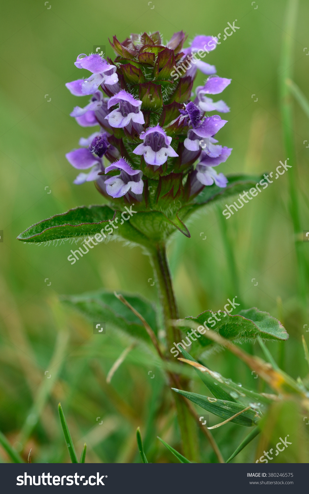 Selfheal (Prunella Vulgaris). A Flower Spike Of This Purple Flower.