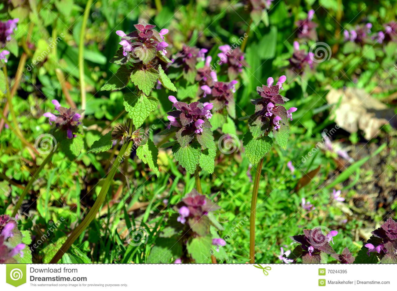 Selfheal Prunella Vulgaris Growing On A Meadow Stock Photo.