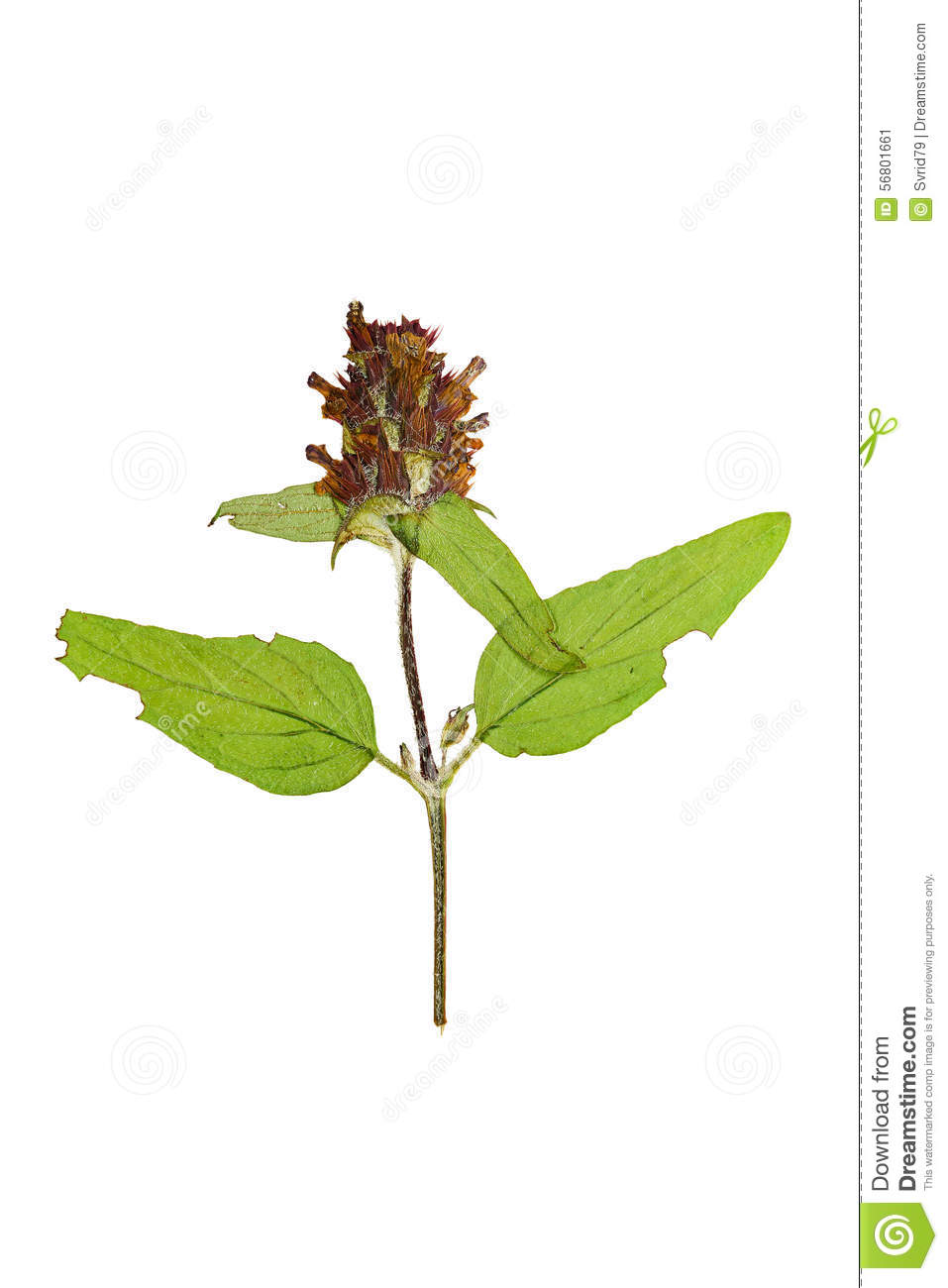 Pressed And Dried Flower On A Stalk Prunella Vulgaris. Isolated.