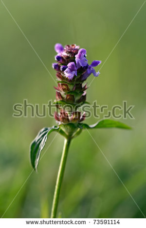 Prunella Vulgaris Stock Photos, Royalty.