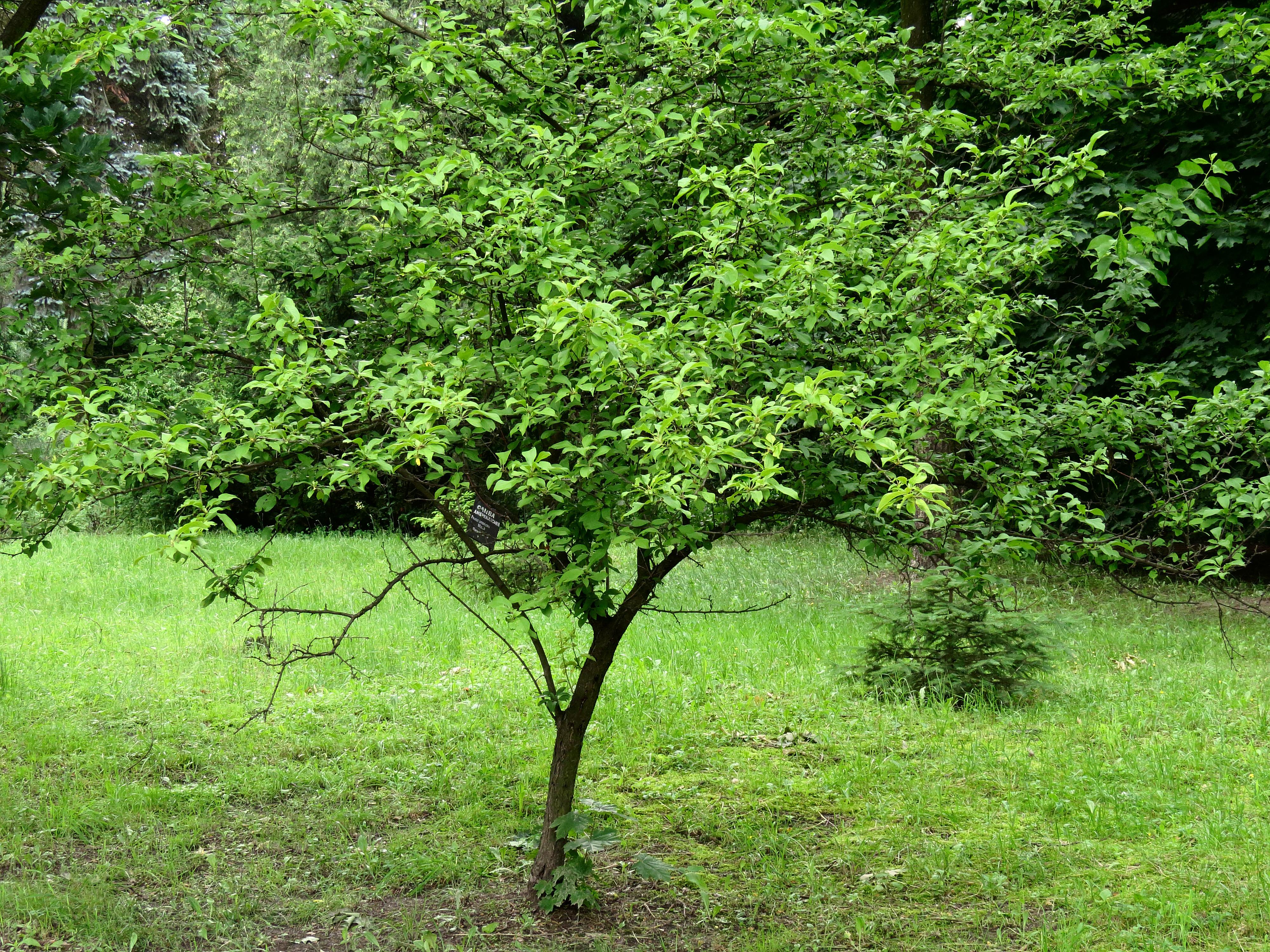 File:Prunus americana Syrets1.JPG.