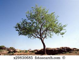 Prunus amygdalus Stock Photos and Images. 178 prunus amygdalus.