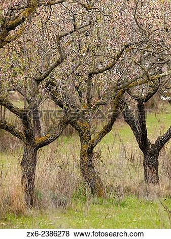 Pictures of Almond trees (Prunus amygdalus) in blossom at Sant.