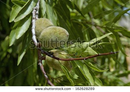 Prunus Amygdalus Stock Photos, Royalty.