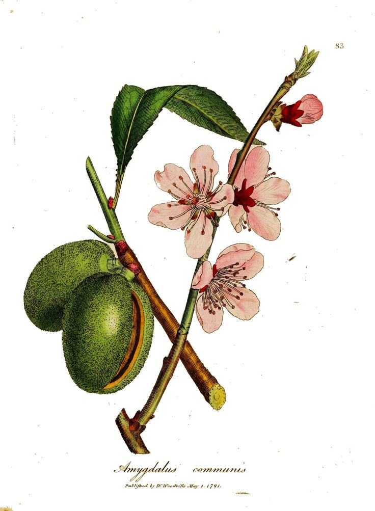 1000+ images about Amygdalus (Almond) on Pinterest.