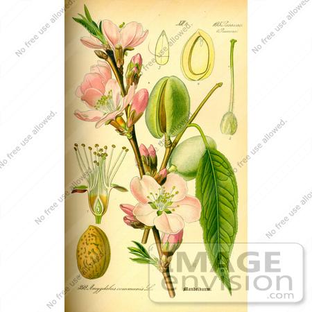 Picture of Almond (Prunus amygdalus).