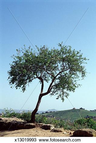 Stock Photo of Almond tree (Prunus amygdalus) x13019993.