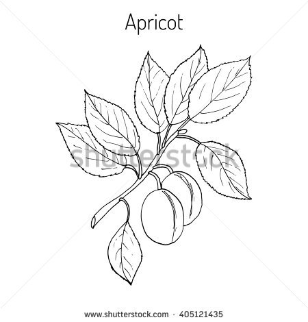 Prunus Stock Vectors, Images & Vector Art.
