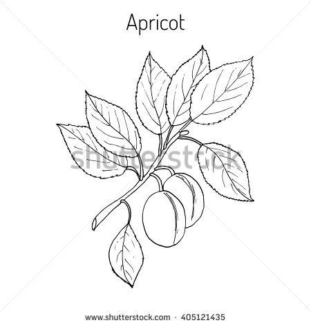 Prunus Stock Vectors, Images & Vector Art.