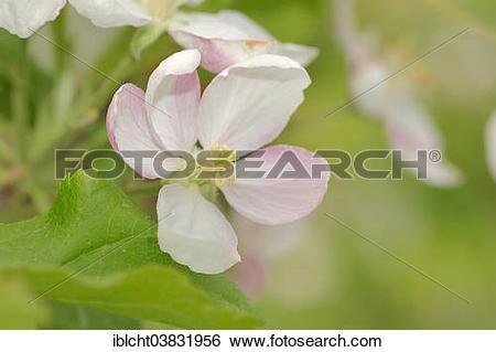"""Stock Images of """"Armenian Plum or Siberian Apricot (Prunus."""