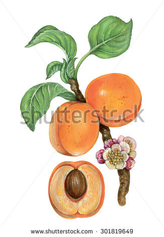 Prunus Armeniaca Stock Photos, Royalty.