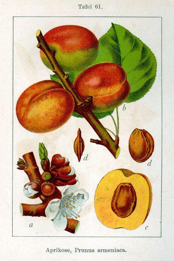 Prunus Armeniaca.