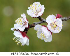 Apricot blossom Images and Stock Photos. 3,856 apricot blossom.